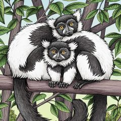 Black & White Ruffed Lemurs