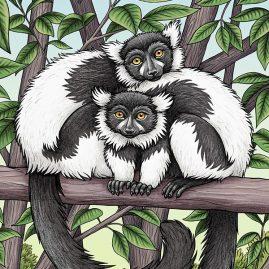 Black & White Ruffed Lemurs